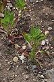 Oenothera biennis in Jardin Botanique de l'Aubrac 02.jpg