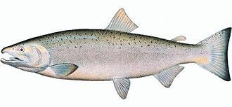 Coho salmon - Image: Oncorhynchus keta
