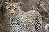 One-eyed African leopard.jpg