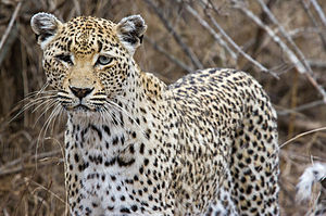 African leopard - An African leopard in Kruger National Park, South Africa