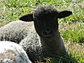 One of the lambs hanging out in the grass - panoramio.jpg