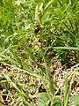 Ophrys × hybrida 02.jpg