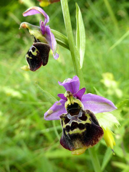File:Ophrys holoserica 13.JPG