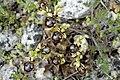 Ophrys speculum-2006.jpg
