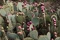 Opuntia engelmannii-Figuier de barbarie-20140805.jpg