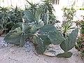 Opuntia ficus-indica var. monstruosa 1.jpg