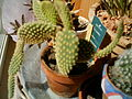 Opuntia microdasys in pot.jpg