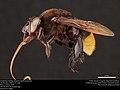 Orchid bee (Apidae, Eulaema nigrifacies (Friese)) (37060765316).jpg