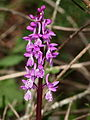 Orchis mascula 024.JPG