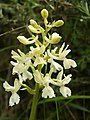 Orchis provincialis (flower spike).jpg