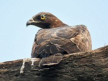 Oriental Honey Buzzard (Female)- Bharatpur I IMG 8244.jpg