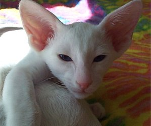 Oriental Shorthair - A blue-eyed white Oriental Shorthair kitten. The line of the nose, eyes, and middle of the ear form a triangular wedge.