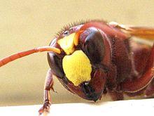 Oriental Wasp - Face.jpg