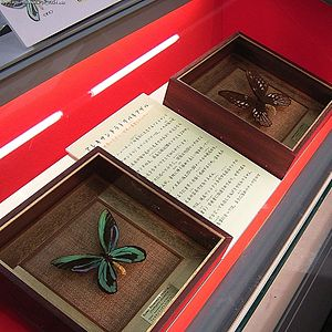 Queen Alexandra's birdwing - Raising the flagship profile with mounted specimens, collected or bred when the insect was not endangered.