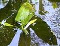 Orontium aquaticum (detail).jpg