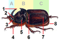Oryctes nasicornis male tagged.png
