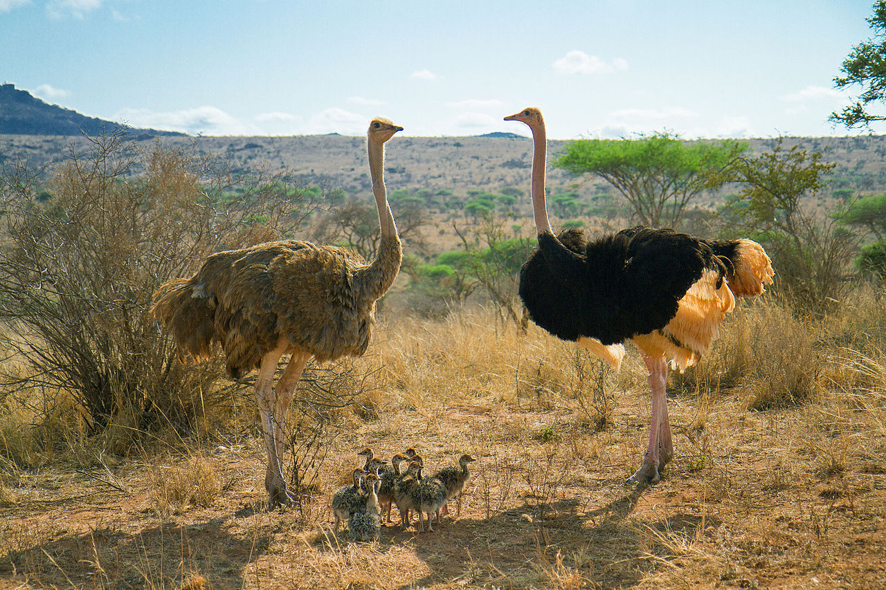 Earth Day >> File:Ostrich Family (Kenya, Day 3).jpg - Wikimedia Commons