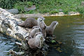 Otters on a log.jpg