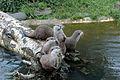 Otters on a log.jpg
