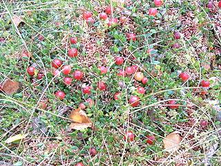 Kľukva močiarna (Oxycoccus palustris) - s plodmi