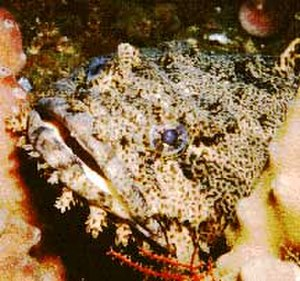 Oyster toadfish - Image: Oyster Toadfish