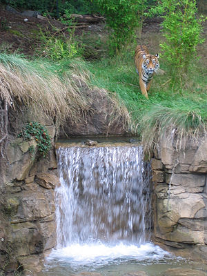 Point Defiance Zoo & Aquarium - A tiger at the top of a waterfall in Asian Forest Sanctuary