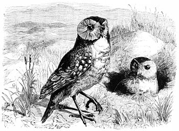 PSM V11 D163 The american burrowing owl.jpg