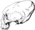 PSM V17 D754 Cranium of koskeemo indian.jpg