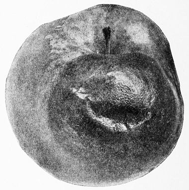 PSM V43 D092 Apple black rot.jpg