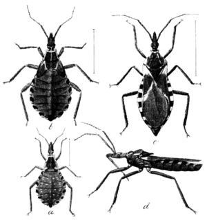 PSM V56 D0040 Different stages of conorhinus sanguisugus.png