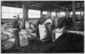 PSM V81 D328 Packing guayule rubber at torreon coahuilla.png
