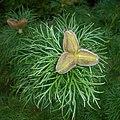 Paeonia tenuifolia 2016-05-31 1934.jpg
