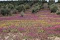 Paisaje olivar florido 24J 07.jpg
