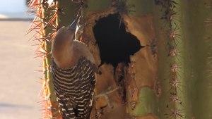 File:Pajaro carpintero hembra alimentando a sus polluelos.webm