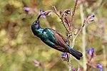 Palestine sunbird (Cinnyris osea osea) male.jpg