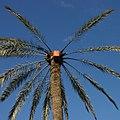 Palmier pour le legmi oasis Gabès (cropped).JPG