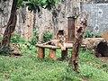 Panthera tigris sumatrae Ragunan.JPG