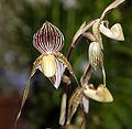 Paphiopedilum St. Swithin - Internationale Orchideen- und Tillandsienschau Blumengärten Hirschstetten 2016 a.jpg