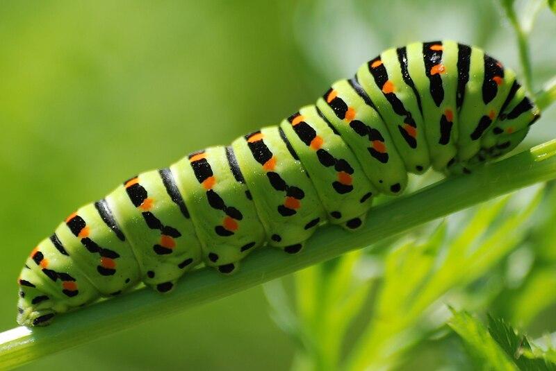 File:Papilio machaon 004.jpg