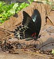 Papilio polymnestor Cramer, 1775 – Blue Mormon at Kottiyoor Wildlife Sacntuary (1).jpg