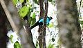 Paradise Tanager (Tangara chilensis) (9499638972).jpg