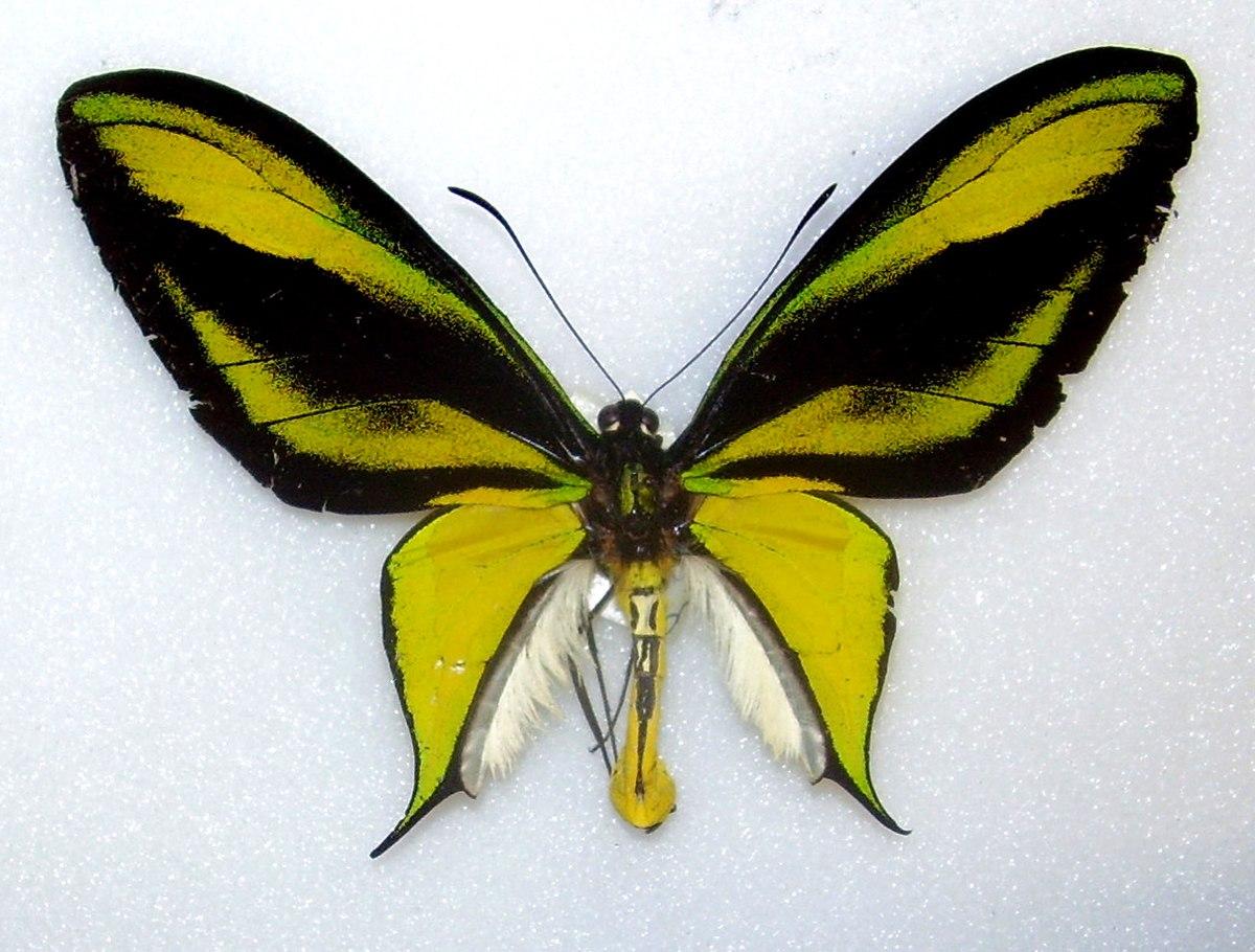 Ornithoptera paradisea - Wikipedia