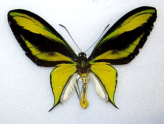 <i>Ornithoptera paradisea</i> species of insect