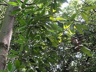 <i>Parakmeria yunnanensis</i> species of plant