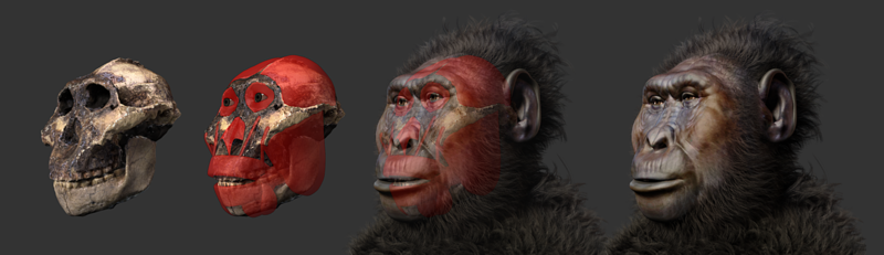 File:Paranthropus boisei - steps of forensic facial reconstruction.png