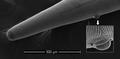 Parasite180153-fig4 Thelazia callipaeda (Nematoda).png