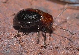 Typophorini Tribe of leaf beetles