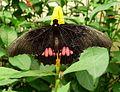 Parides sp.^ female. - Flickr - gailhampshire.jpg