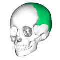 Parietal bone anterior2.png