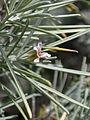 Parolinia ornata kz3.JPG